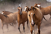 Horses kicking up dust and galloping, on a traditional estancia, Lujan, Argentina.
