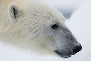 A close-up portrait of the face of a polar bear (Ursus maritimus), Svalbard, Norway, Arctic