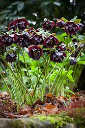 Black hellebore in the woodland garden at Glebe Cottage. Helleborus x hybridus syn. Helleborus orientalis
