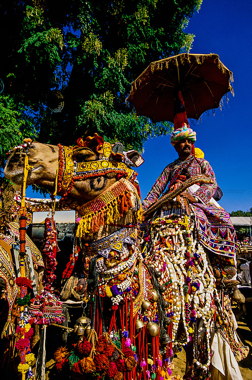 Camel, Rajasthani cultural performance (Mela) at the fairground, Pushkar Fair (camel fair), Pushkar, Rajasthan, India