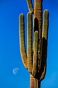 "The moon gets ready to set near the base of a large saguaro cactus (Carnegiea gigantea) in the Superstition Wilderness near Gold Canyon, Arizona. Saguaro are native to the Sonoran Desert and are known for their ""arms,"" which take ages to grow. The saguaro can take 10 years to reach its first inch of height and another 60 years to produce its first flowers. By 95-100 years, saguaros can be 15-16 feet tall and may finally produce their first arm, though some of the cacti never generate one."