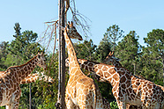 Giraffes of Lion Country Safari