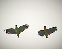 Orange-winged Parrot (Amazona amazonica). Caroni Bird Sanctuary, Caroni Swamp, Trinidad, Image taken with a Nikon D3s camera and 70-300 mm VR lens.
