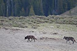 Two Black Wolves, canyon pack, Hayden Valley, Yellowstone National Park