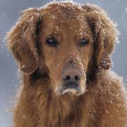 Portrait of a Golden Retriever. Montana