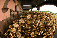 Agave penas before processing to make tequila, Casa Herradura (distillery) in the town of Tequila, Jalisco, Mexico