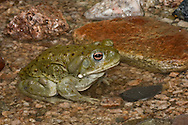 """The poisonous Sonoran Desert Toad, Bufo alvarius, is sometimes used for """"toad licking"""" to """"get high""""; Sonoran Desert, Arizona"""
