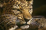 Arabian leopard (Panthera pardus) photographed in Israel