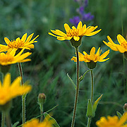Wildflowers, Blooming Thrift Goldenweed (Haplopappus armerioides) Flowers in meadow in Bridger mountains. Summer. Montana.