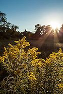 Back-lit goldenrod with a sunburst at Mass Audubon Wildlife Sanctuary in Barnstable