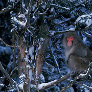 Snow Monkey or Japanese Red-faced Macaque, (Macaca fuscata) In trees. Japan.