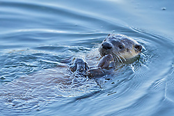 River Otters with captured fish at Trout Lake in Yellowstone National Park
