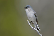 Blue-gray Gnatcatcher - Polioptila caerulea - Adult male breeding
