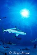 blacktip and Caribbean reef sharks, Carcharhinus limbatus & Carcharhinus perezi, Walker's Cay, Bahamas ( Western Atlantic )