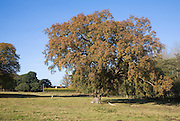 Quercus Robur oak tree in autumn leaf standing in field against blue sky, Suffolk, England