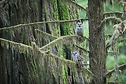 Deep in an old growth redwood forest, a barred owl pair sit perched on a moss-draped Sitka spruce tree at Jedediah Smith Redwoods State Park, Crescent City, California