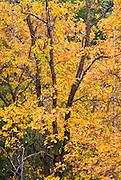 Oak tree in autumn, Yosemite Valley, Yosemite National Park, California