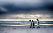 King penguins (Aptenodytes patagonicus patagonicus) on the beach at Volunteer Point, the Falklands.