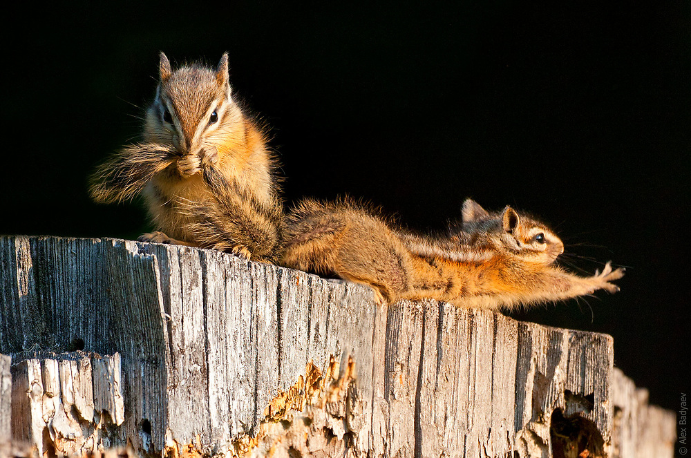 The Essence of the Yellow Pine Chipmunk   Chipmunk spa
