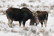 Two moose (Alces alces), a cow and her calf, feed in a snow-covered field in Grand Teton National Park, Wyoming.