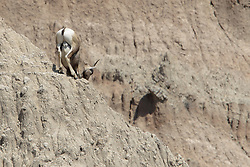 Badlands National Park - Wall South Dakota - Bighorn Sheep