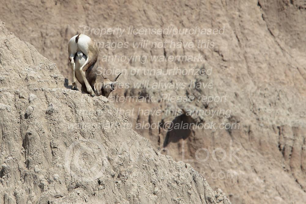 Badlands National Park - Wall South Dakota - Bighorn Sheep