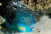Pacific steephead parrotfish, Chlorurus microrhinos, terminal male phase, asleep inside mucus cocoon at night, Ribbon Reefs, Great Barrier Reef, Australia ( Western Pacific Ocean )