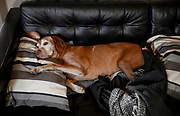 SHOT 2/21/17 1:36:24 PM - Tanner, a 12 year-old male Vizsla, makes the most of his relaxation time on his couch at his home in Denver, Co. The Vizsla, is a dog breed originating in Hungary. The Hungarian or Magyar Vizsla represents one of the best in sporting dogs and loyal companions and has a strong claim to being one of the smallest of the all-round pointer-retriever breeds. The Vizsla's size is one of the breed's most attractive characteristics and through the centuries he has held a unique position for a sporting dog -- that of household companion and family dog. The Vizsla is a natural hunter endowed with a good nose and an above average trainability. Although they are lively, gentle mannered, demonstrably affectionate and sensitive, they are also fearless and possessed of a well-developed protective instinct.<br /> (Photo by Marc Piscotty / © 2017)
