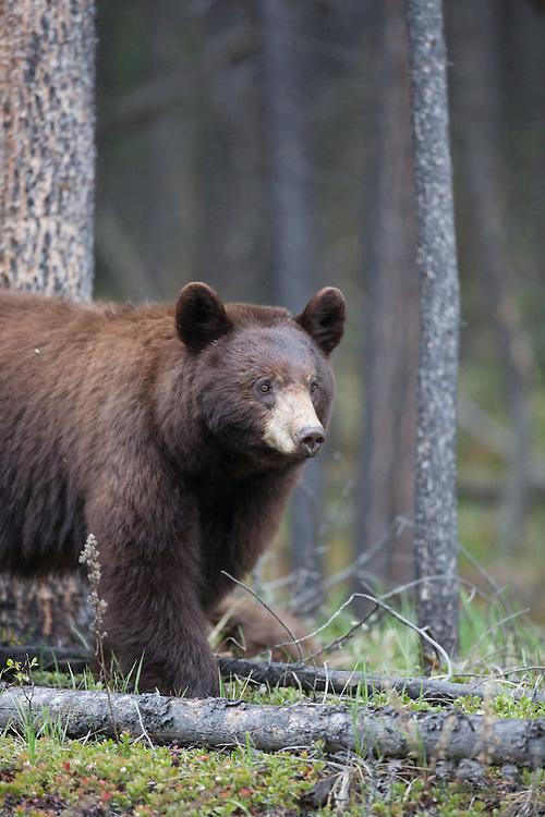 Black bear cub sow, colour phase, Jasper National Park, Alberta, Canada