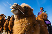 In the Gobi Desert of Mongolia, a camel herder leads his Bactrian camels (Camelus bactrianus) over the snow covered dunes in the winter, Gobi Desert, Mongolia