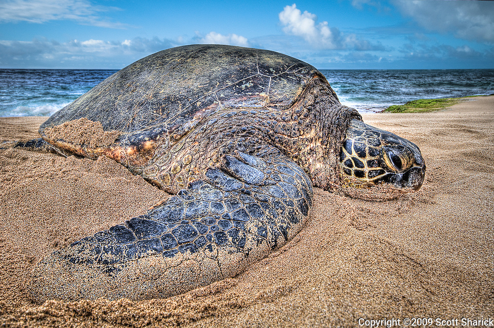 A large Hawaiian Green Sea turtle rests on the North Shore of Oahu.