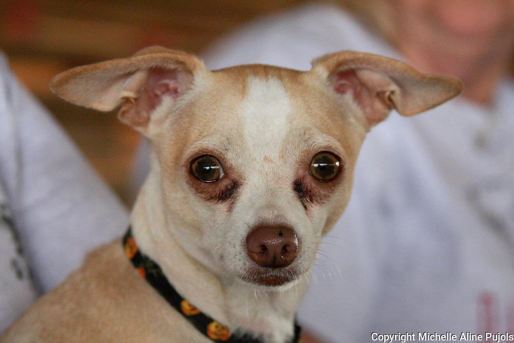 Chihuahua head shot