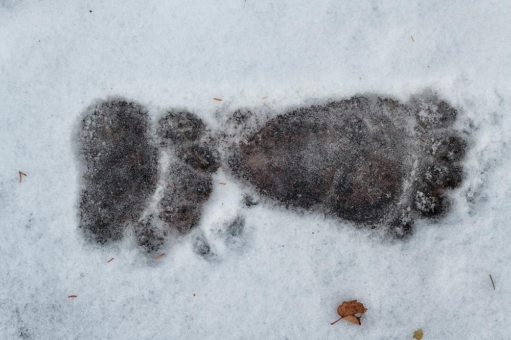 Grizzly Bear Prints, Kluane National Park