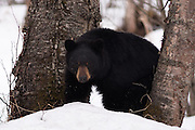 A black bear, recently out of the den, in deep snow.