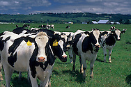 Dairy Cattle in spring pasture, Eel River Valley, near Ferndale, Humboldt County, CALIFORNIA