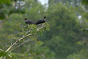 Lago Agrio - Tuesday, Dec 18 2007: A pair of Horned Screamers (Anhima cornuta) sit in a tree in the Cuyabeno National Park. (Photo by Peter Horrell / http://www.peterhorrell.com)
