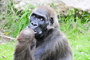 close up portrait of a thinking gorilla in captivity