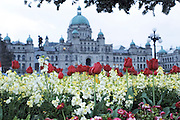 Victoria, British Columbia, Canada. British Columbia Parliament Buildings home of the Legislative Assembly of British Columbia. Selective focus on the Tulips and flowers in the foreground