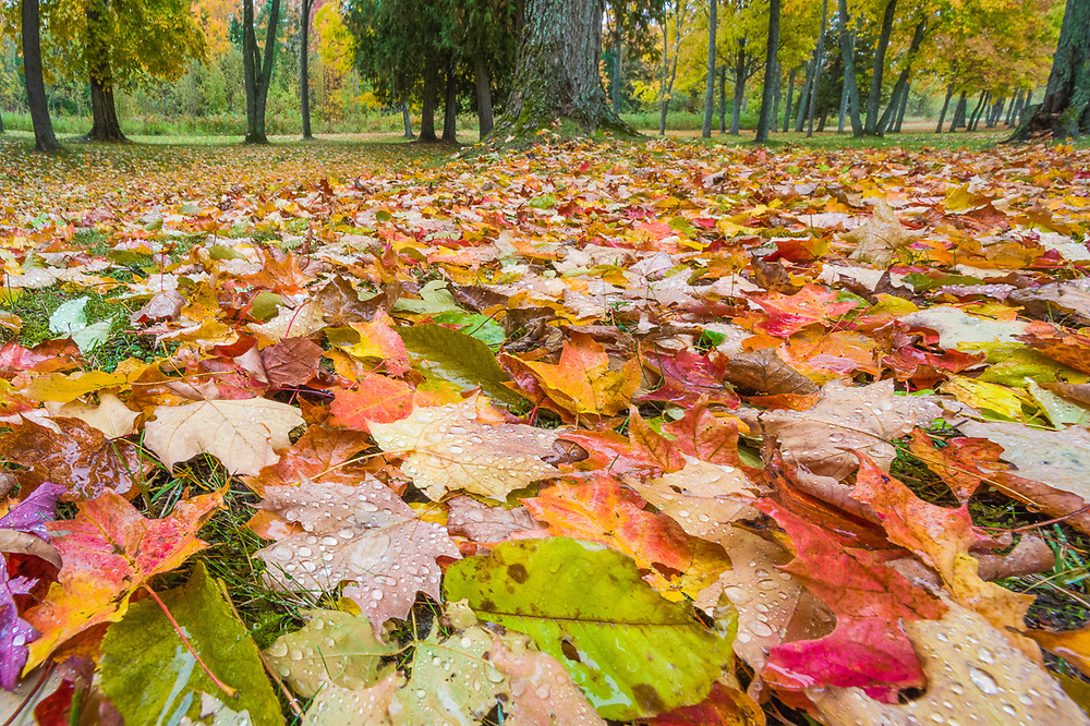 Maple trees and leaves (Acer species.) October, roadside park, Ontonagon County, Upper Peninsula, Michigan, USA