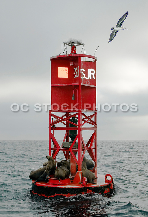 California Sea Lions Resting on a Buoy