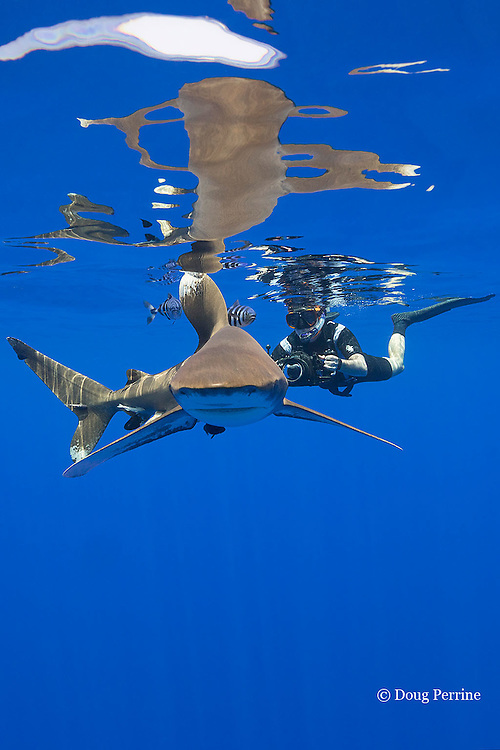 free-diving underwater photographer photographs an oceanic whitetip shark, Carcharhinus longimanus, accompanied by pilot fish, Naucrates ductor, off the Kona Coast of Hawaii Island ( the Big Island ), and with several small remoras or sharksuckers attached to body, Hawaiian Islands, U.S.A. ( Central Pacific Ocean ) MR 484