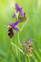 Apulia; Apulica Ohprys; Gargano Peninsula; Italy; Ophrys apulica; Vieste
