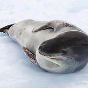 Leopard seal resting on iceberg in Paradise Bay, Antarctica.