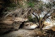 Umbrella thorn acacia (Acacia tortilis) in a desert oasis Photographed in Israel, Negev Desert
