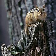 Eastern Chipmunk (Tamias striatus) sitting on a broken tree stump during the fall season.