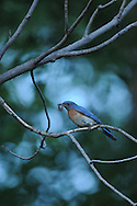 Eastern Bluebird with food to take back to the nest.
