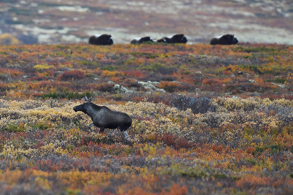 Elk/Moose, Alces alces, running in front of Muskox, Ovibos moschatus, Dovrefjell National Park, Norway