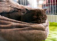 11.10.2015 Bialystok woj podlaskie Miedzynarodowa Wystawa Kotow Rasowych N/z kot brytyjski fot Michal Kosc / AGENCJA WSCHOD