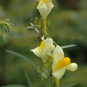 Butter-and-eggs - Linaria vulgaris
