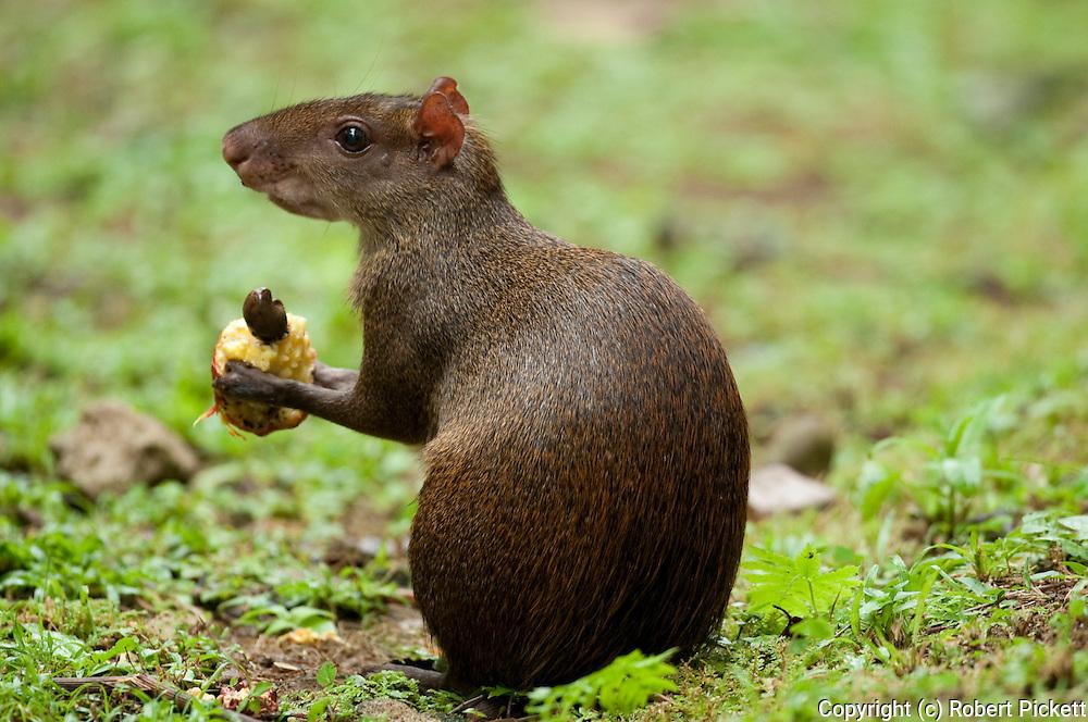 Central American Agouti, Dasyprocta punctata, Panama, Central America, Gamboa Reserve, Parque Nacional Soberania, feeding on fallen fruit